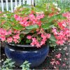 Begonia Pink