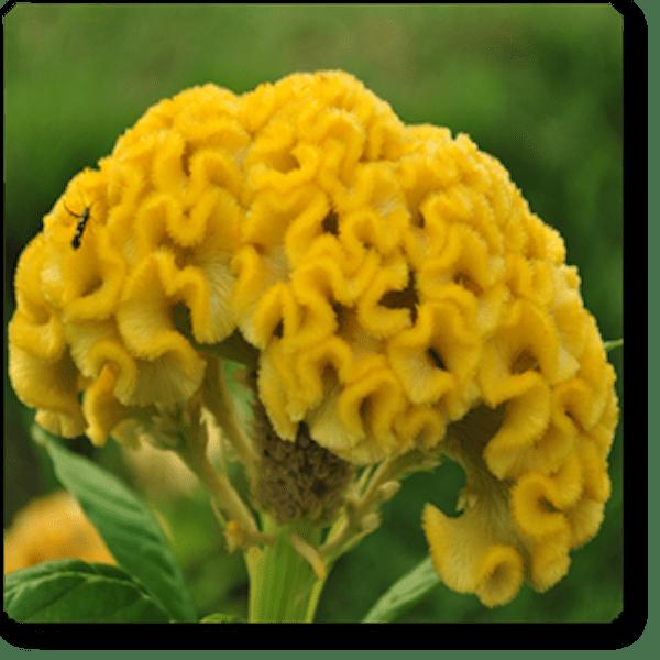 Cockscomb yellow