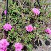 Chinese Rose Pink