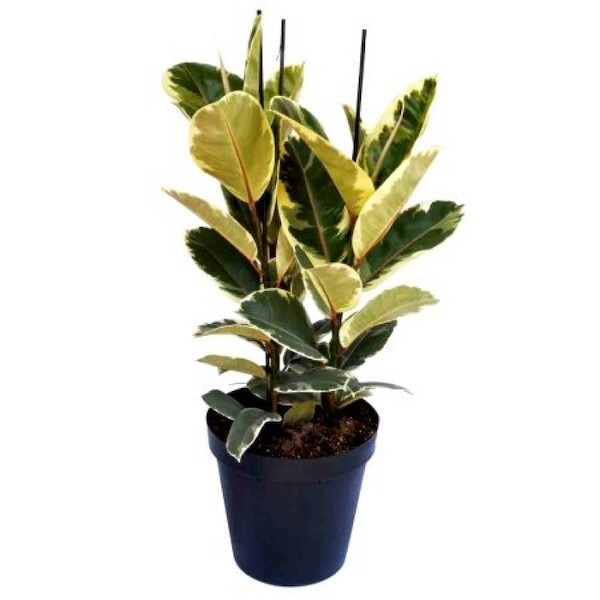 Rubber Plant - Variegated