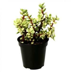 Variegated Jade Plant with Black Pot