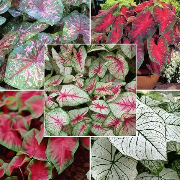 Caladiums Foliage in Any Color