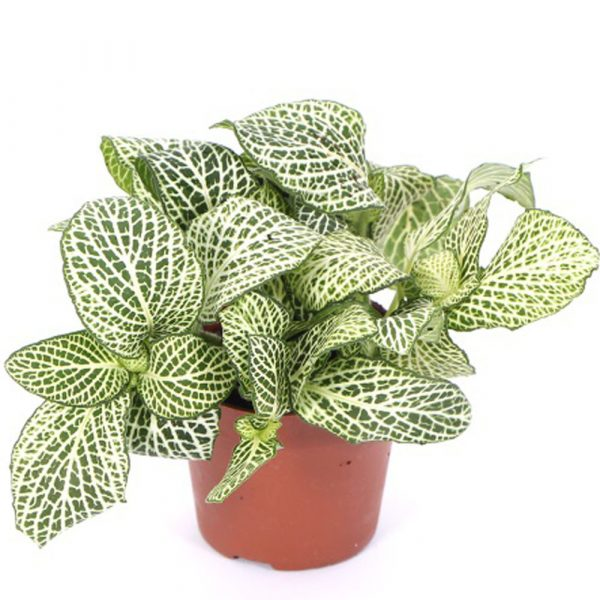 Nerve Plant also known as Fittonia Albivenis