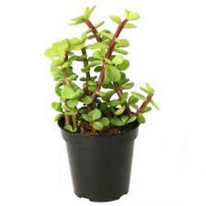 Good luck Jade Plant in Green