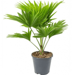 Table palm