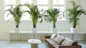 Areca Palm arranged in Living Room