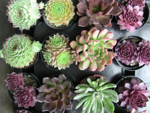 Group of Succulents from top view