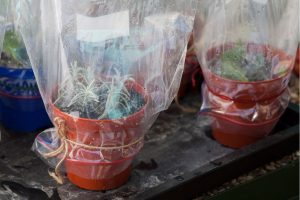 indoor plant wrapped in plastic bag creatting greenhouse effect