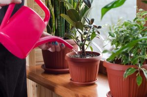 Watering indoor plants by watering can