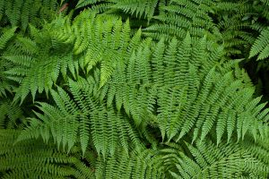 Beautiful ferns on the forest ground